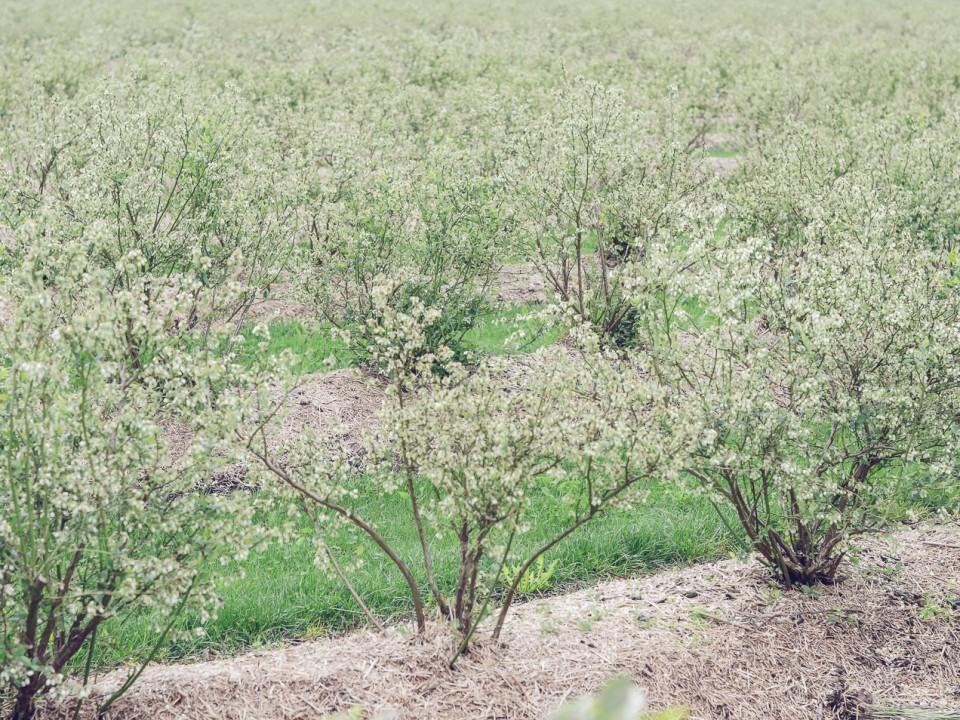 blauwe-bes-drenthe-1.jpg