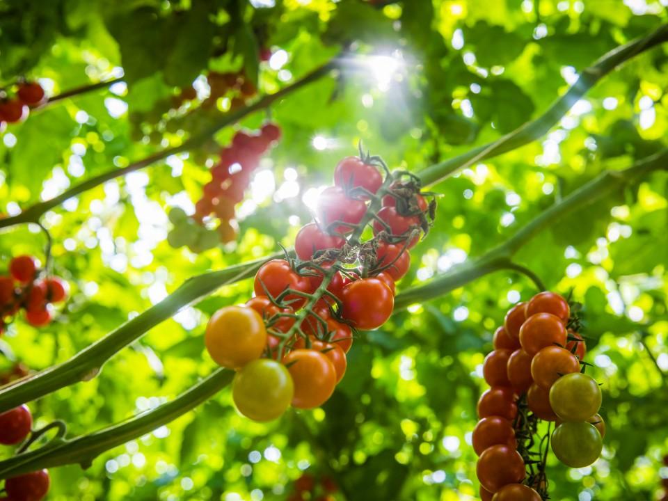tomaten-2.jpg