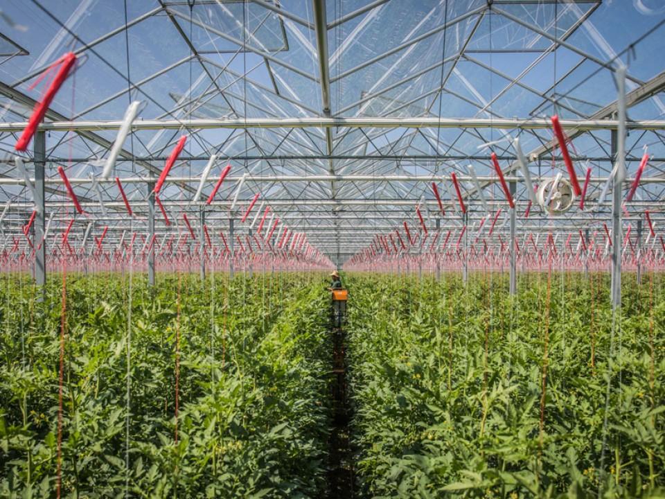 tomaten-kas.jpg